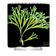 Rockweed Seaweed, X-ray Shower Curtain