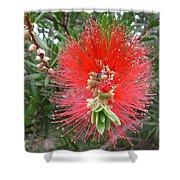 Australia - Callistemon Red Flower Shower Curtain