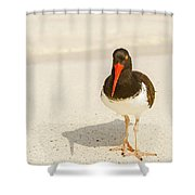 American Oystercatcher, Haematopus Palliatus,  Looking For Food  Shower Curtain