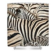 Burchells Zebras Equus Quagga Shower Curtain