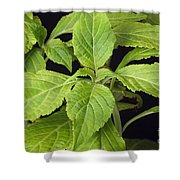 Diviners Sage Shower Curtain