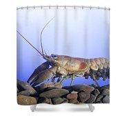 Female Rusty Crayfish Shower Curtain