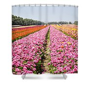 field of cultivated Buttercup  Shower Curtain
