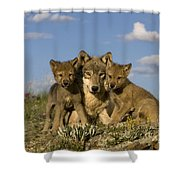 Gray Wolf And Cubs Shower Curtain
