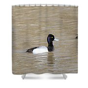 3 Greater Scaup  4060 Shower Curtain