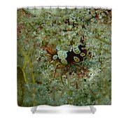 Squat Anemone Shrimp Shower Curtain