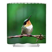 3531 - Ruby-throated Hummingbird Shower Curtain