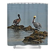 37-  Pelicans Shower Curtain