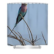 Lilac Breasted Roller On The Hunt Shower Curtain