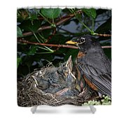 Robin Feeding Its Young Shower Curtain