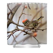 4369 - Ruby-crowned Kinglet Shower Curtain