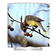 4424 - Cedar Waxwing Shower Curtain