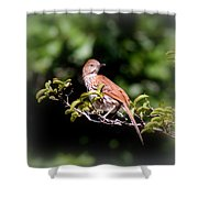 4979 - Brown Thrasher Shower Curtain