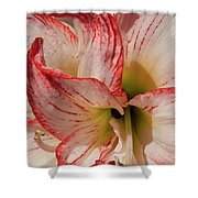 Amaryllidaceae Hippeastrum Amorice Shower Curtain