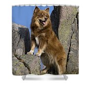 Finnish Lapphund Shower Curtain