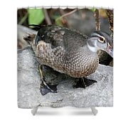 Juvenile Male Wood Duck Shower Curtain