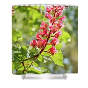 Aesculus X Carnea, Or Red Horse-chestnut Flower Shower Curtain