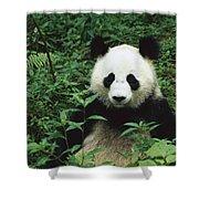 Giant Panda Ailuropoda Melanoleuca Shower Curtain by Cyril Ruoso