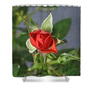 Red Rose Blooming Shower Curtain