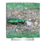 6-spotted Green Tiger Beetle Shower Curtain
