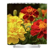 Tagetes Patula Fully Bloomed French Marigold At Garden In Octob Shower Curtain