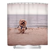 York Dog Playing On The Beach. Shower Curtain