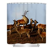 Red Deer In The Highlands Shower Curtain