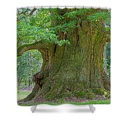 800 Years Old Oak Tree  Shower Curtain by Heiko Koehrer-Wagner