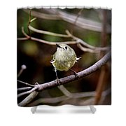 9343-00-ruby-crowned Kinglet Shower Curtain
