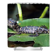 A Baby Alligator Resting On A Lilly Pad Shower Curtain