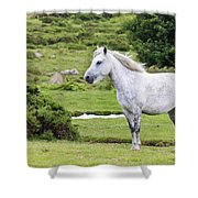 A Beautiful White Dartmoor Pony, Devon, England Shower Curtain
