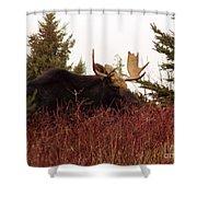 A Big Fierce-eyed Bull Moose Shower Curtain
