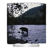 A Black Bear Searches For Sockeye Shower Curtain