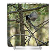 A Black Capped Chickadee Taking Off Shower Curtain