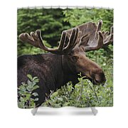 A Bull Moose Among Tall Bushes Shower Curtain