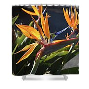 A Bunch Of Bird Of Paradise Flowers Bloomed  Shower Curtain