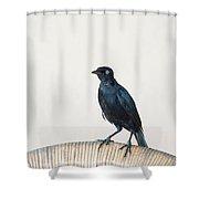 A Carib Grackle (quiscalus Lugubris) On Shower Curtain