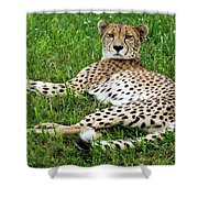 A Cheetah Resting On The Grass Shower Curtain