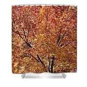 A Claret Ash Tree In Its Autumn Colors Shower Curtain