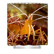 A Cleaner Shrimp Perches On An Exposed Shower Curtain