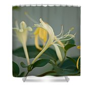 A Close Up Of Honeysuckle Shower Curtain