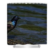 A Common Grackle Shower Curtain
