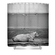 A Cow On The Beach Shower Curtain