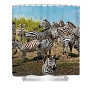 A Dazzle Of Zebras Shower Curtain