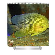 A Dusky Damselfish Offshore From Panama Shower Curtain