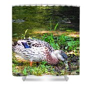 A Female Mallard Duck Is See Searching For Food 1 Shower Curtain