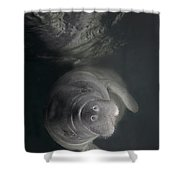 A Florida Manatee In The Warm Waters Shower Curtain