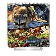 A Foraging Raccoon Shower Curtain