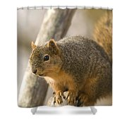 A Fox Squirrel Sciurus Niger Perches Shower Curtain