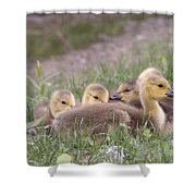 A Gaggle Of Goslings Shower Curtain